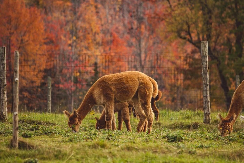 herd of animal eating grasses