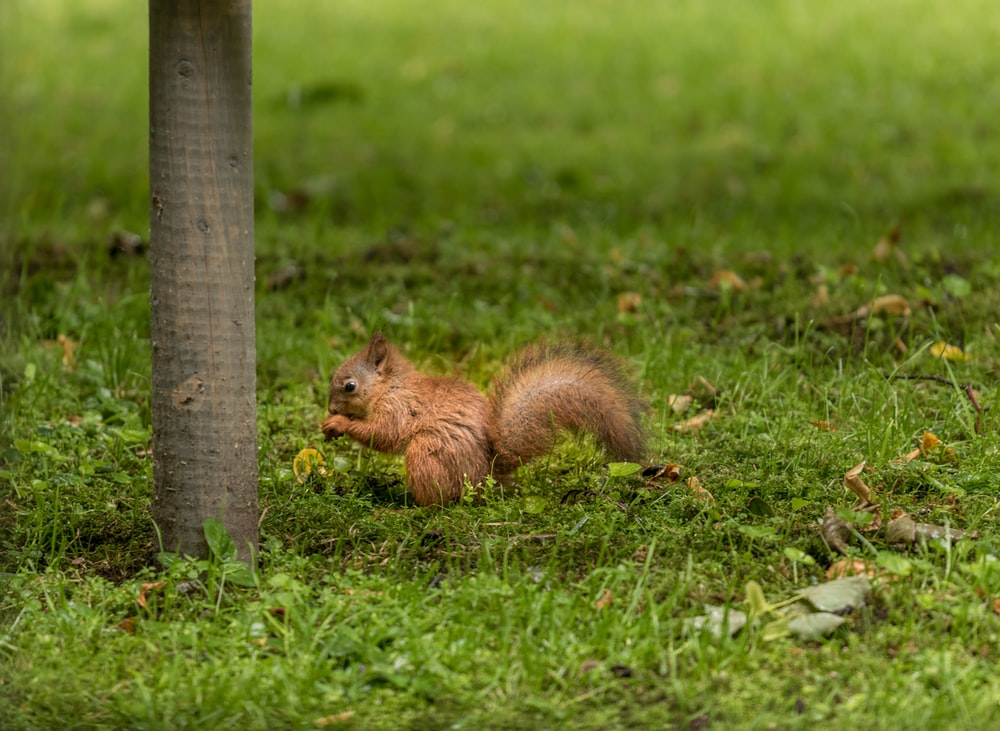 brown squirrel on green grass field