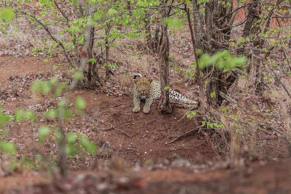 cheetah lye on ground