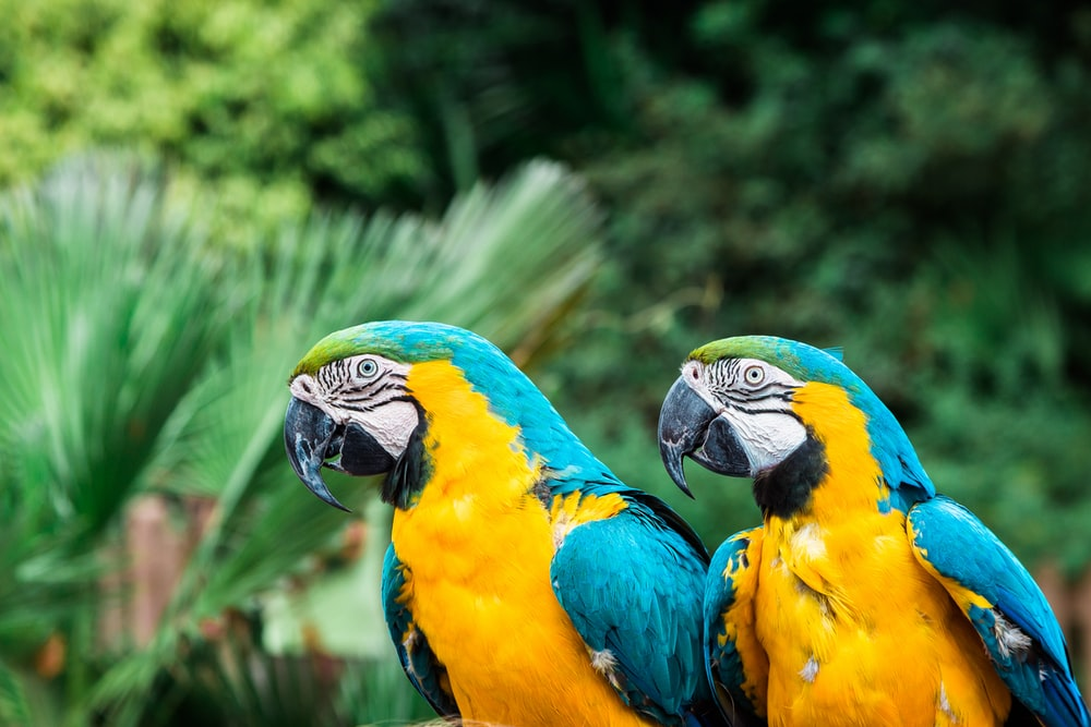 selective focus photography of two yellow macao