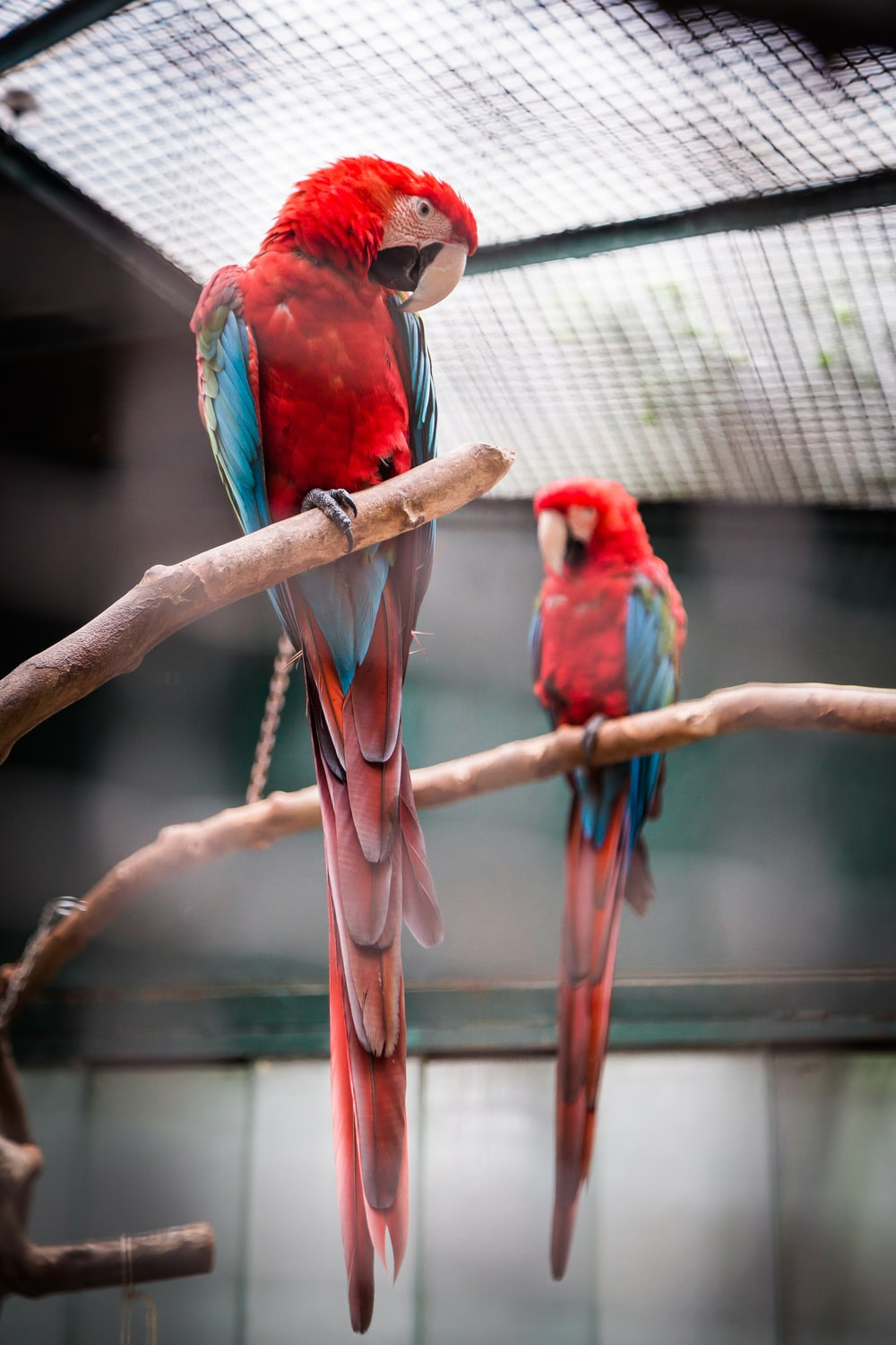 photography of two red, blue, and green macaw