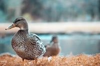 selective focus photography of duck