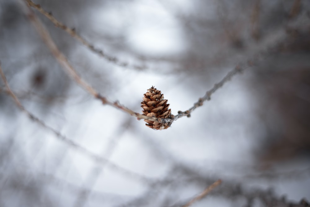 selective focus photography of pinecone
