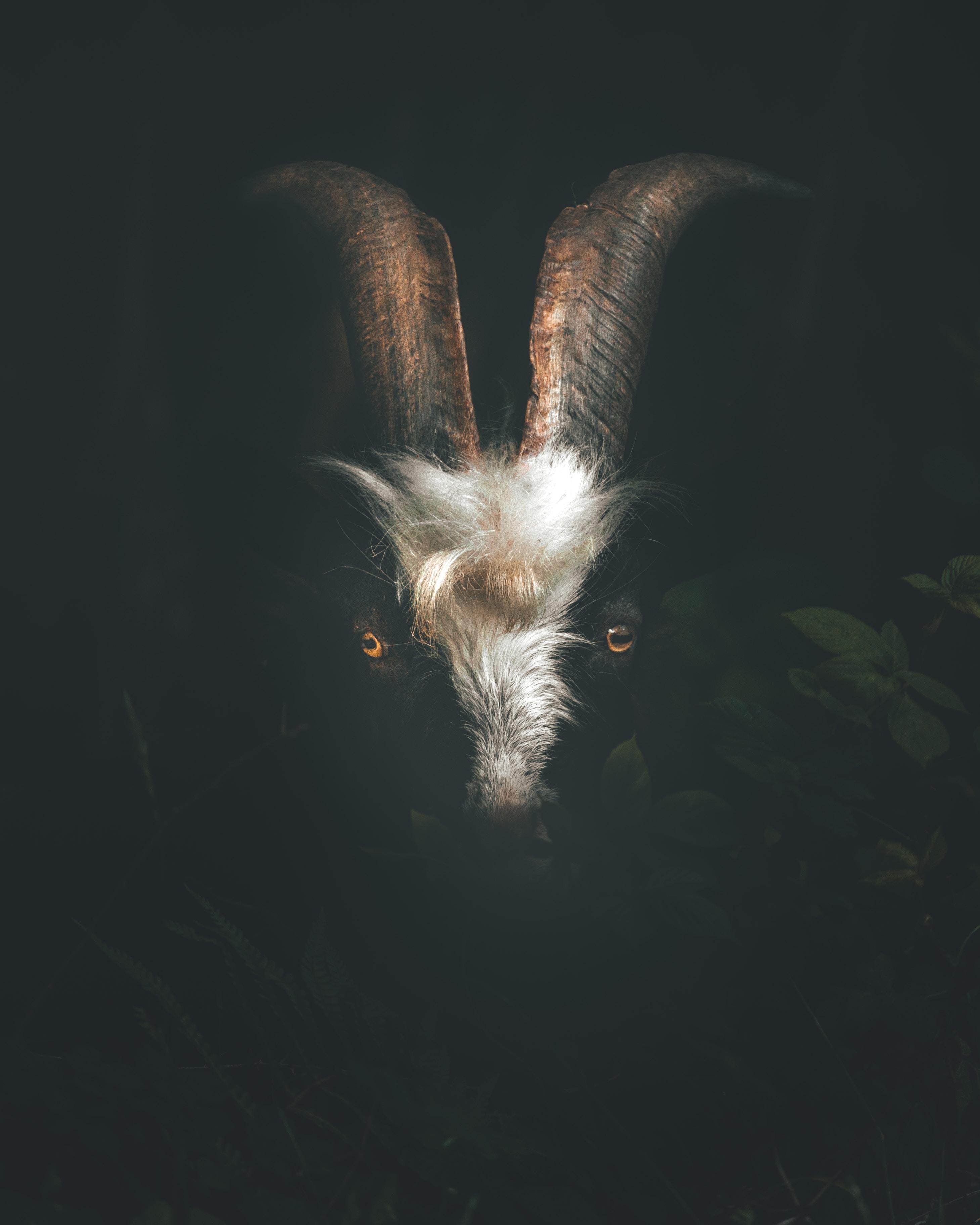 macro shot photography of ram