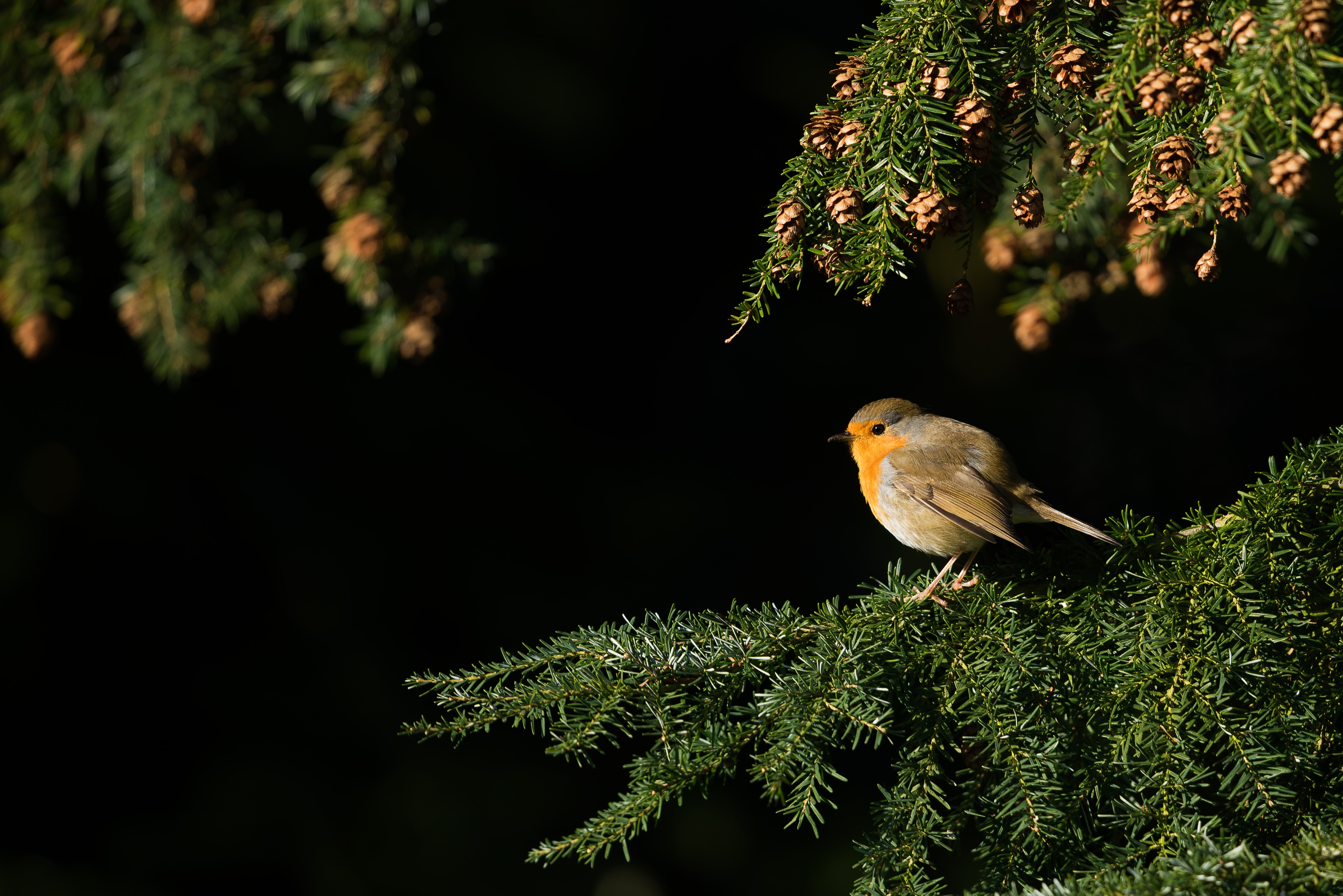 Tiny bird with pale brown, orange and white feathers in an evergreen tree.