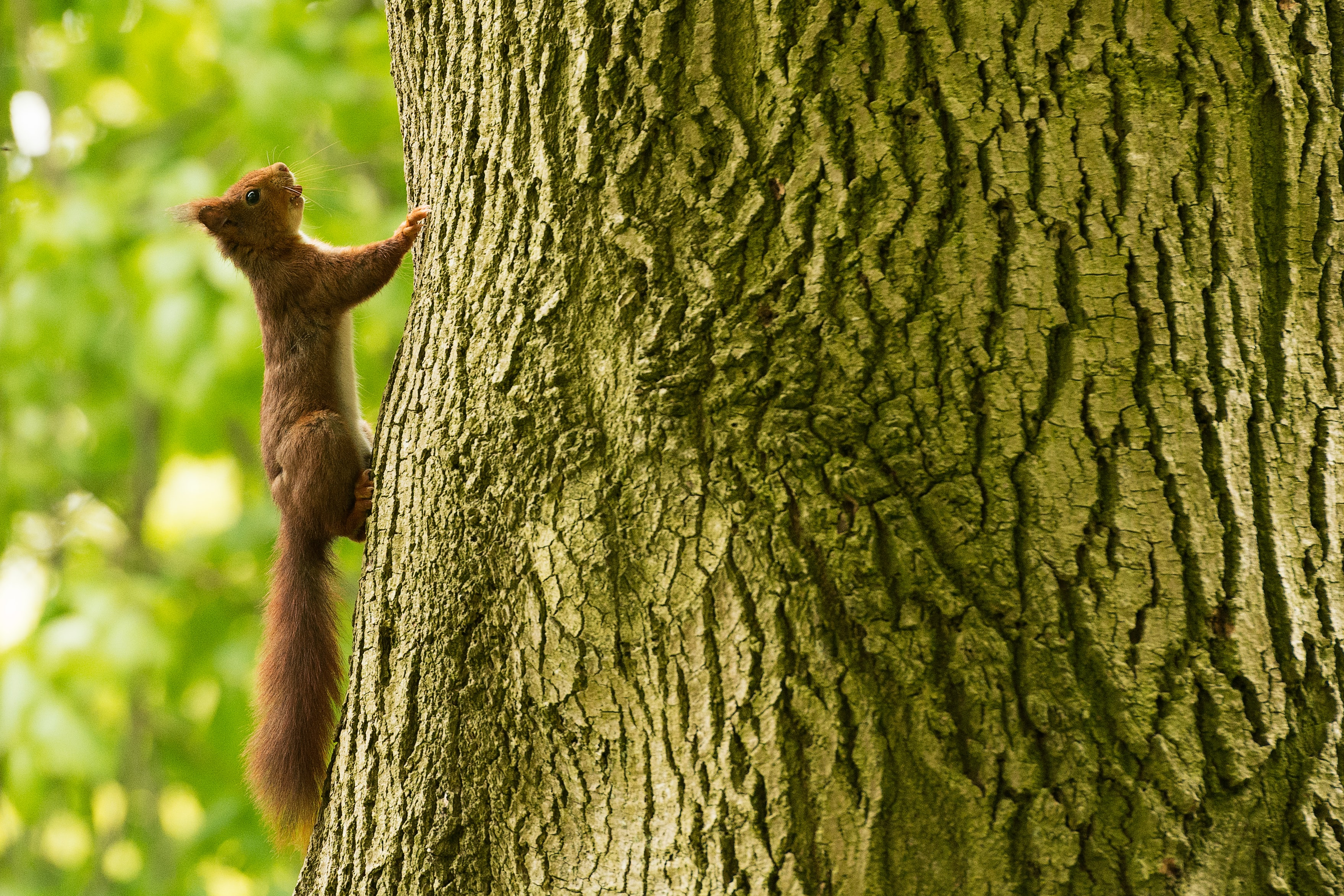 brown squirrel climbing on bark of tree