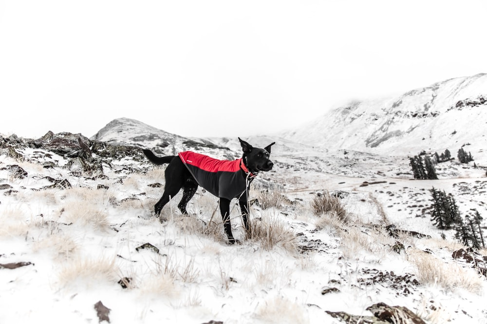 black dog standing on the white snow