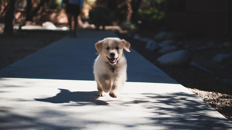 short-coated beige puppy