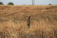 brown cheetah on brown grass field at daytime