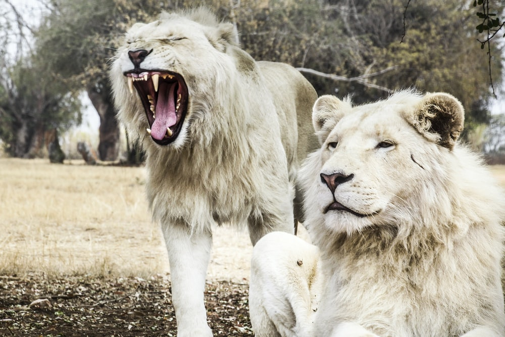 two white lions