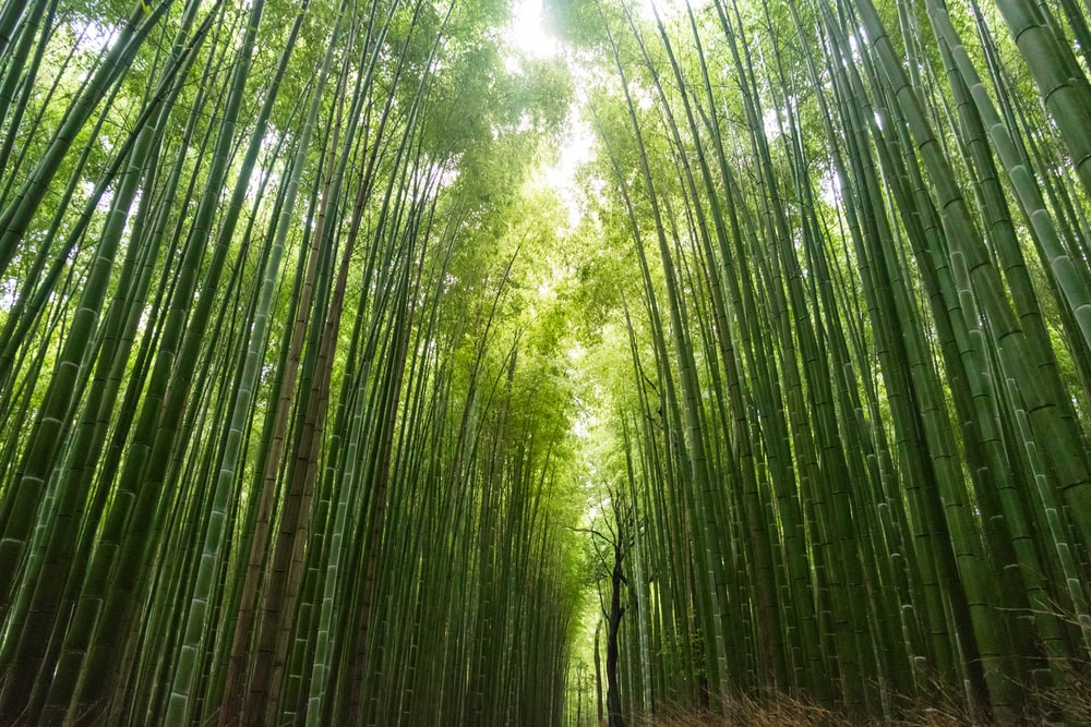 photo of green bamboo trees during daytime