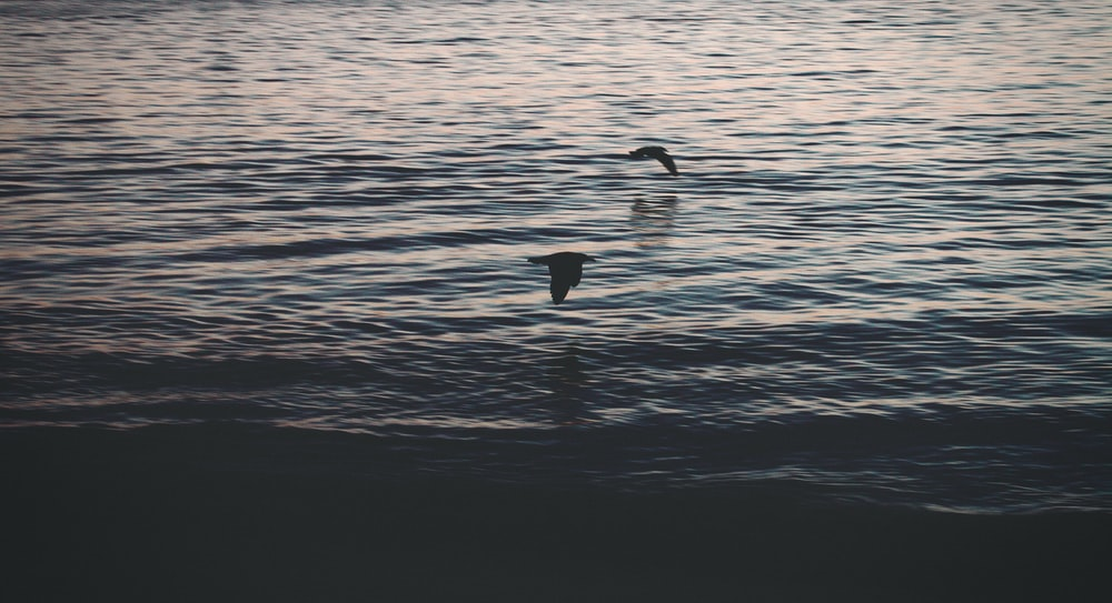 two birds flying above body of water during daytime