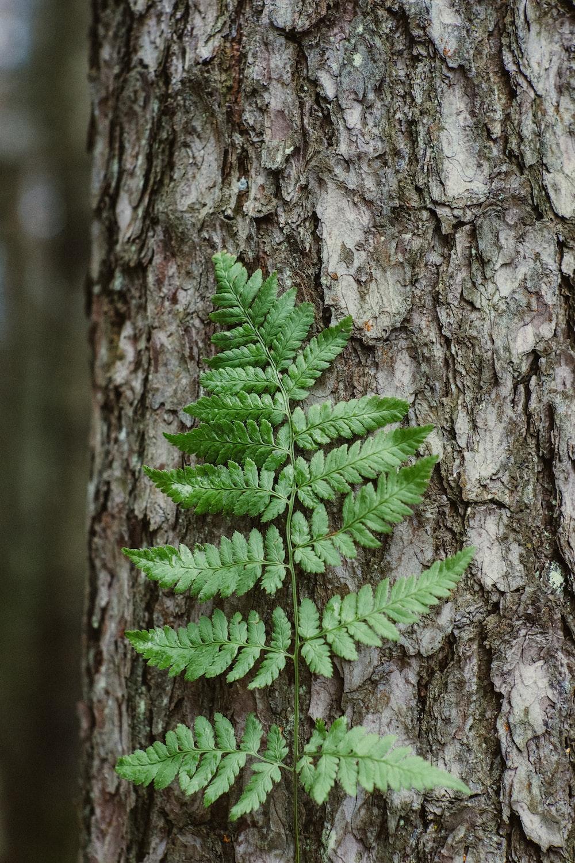 green Boston fern leaf on tree bark
