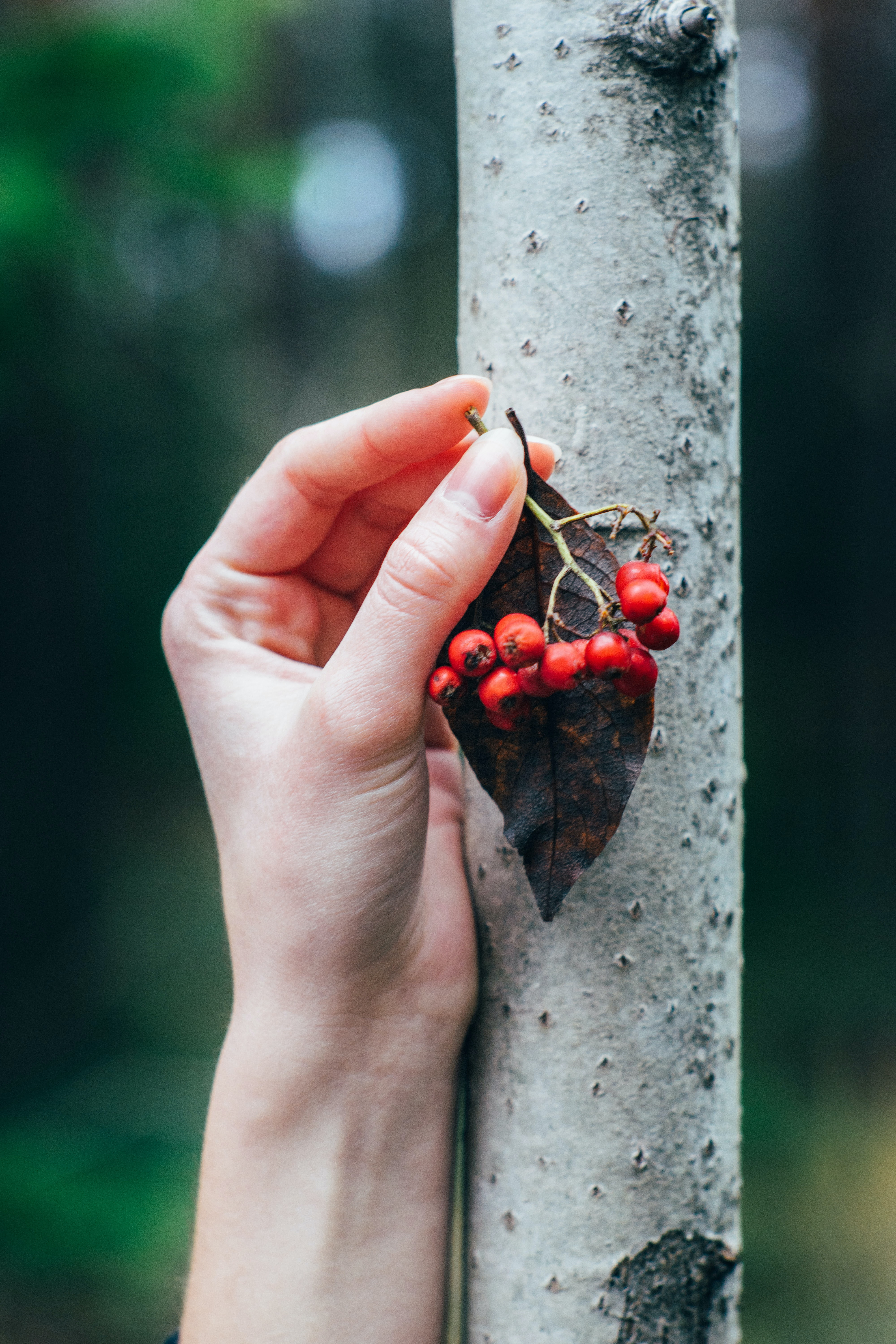 person holding red cranberries