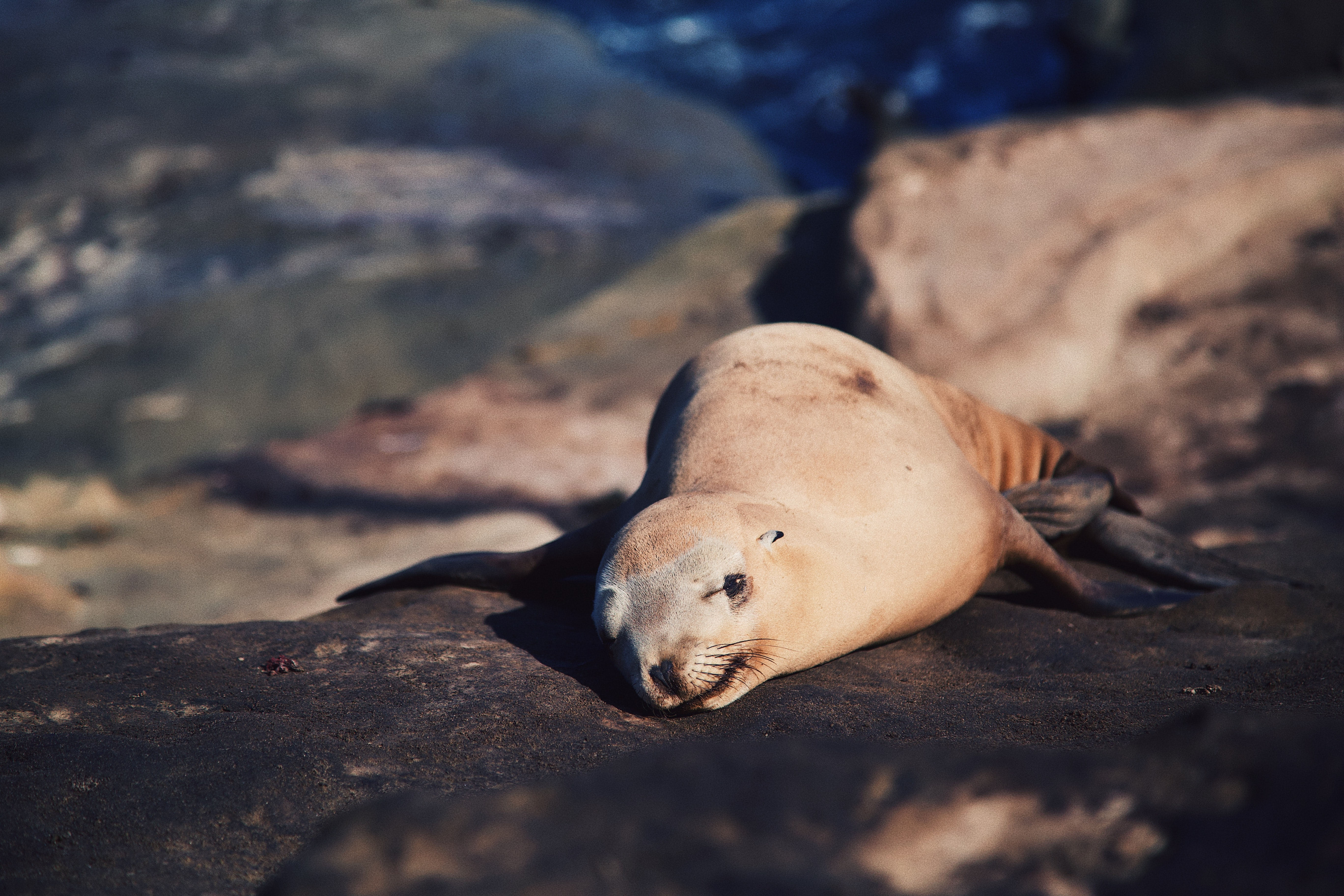 selective focus photography of seal laying on rock formation