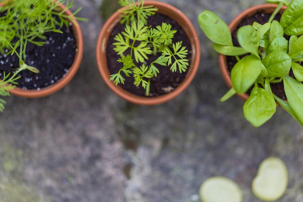 three green leaf potted vegetables