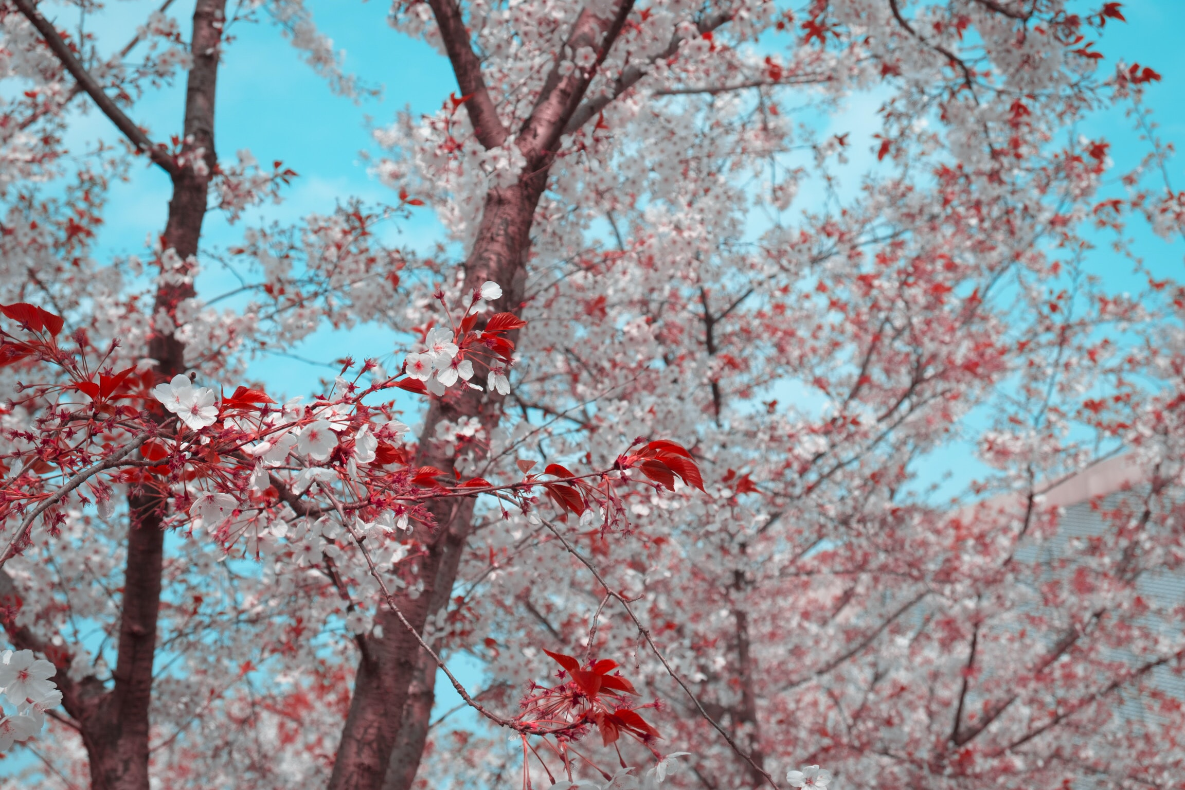 pink petaled tree