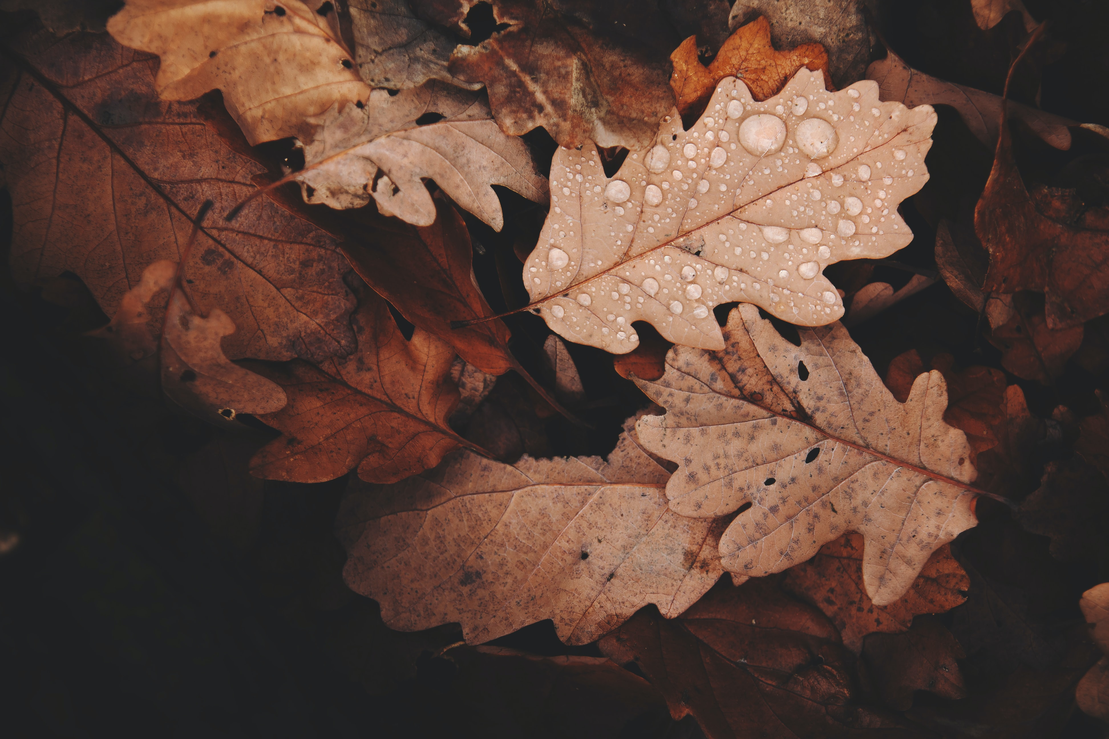 brown withered leaves with water dews closeup photo