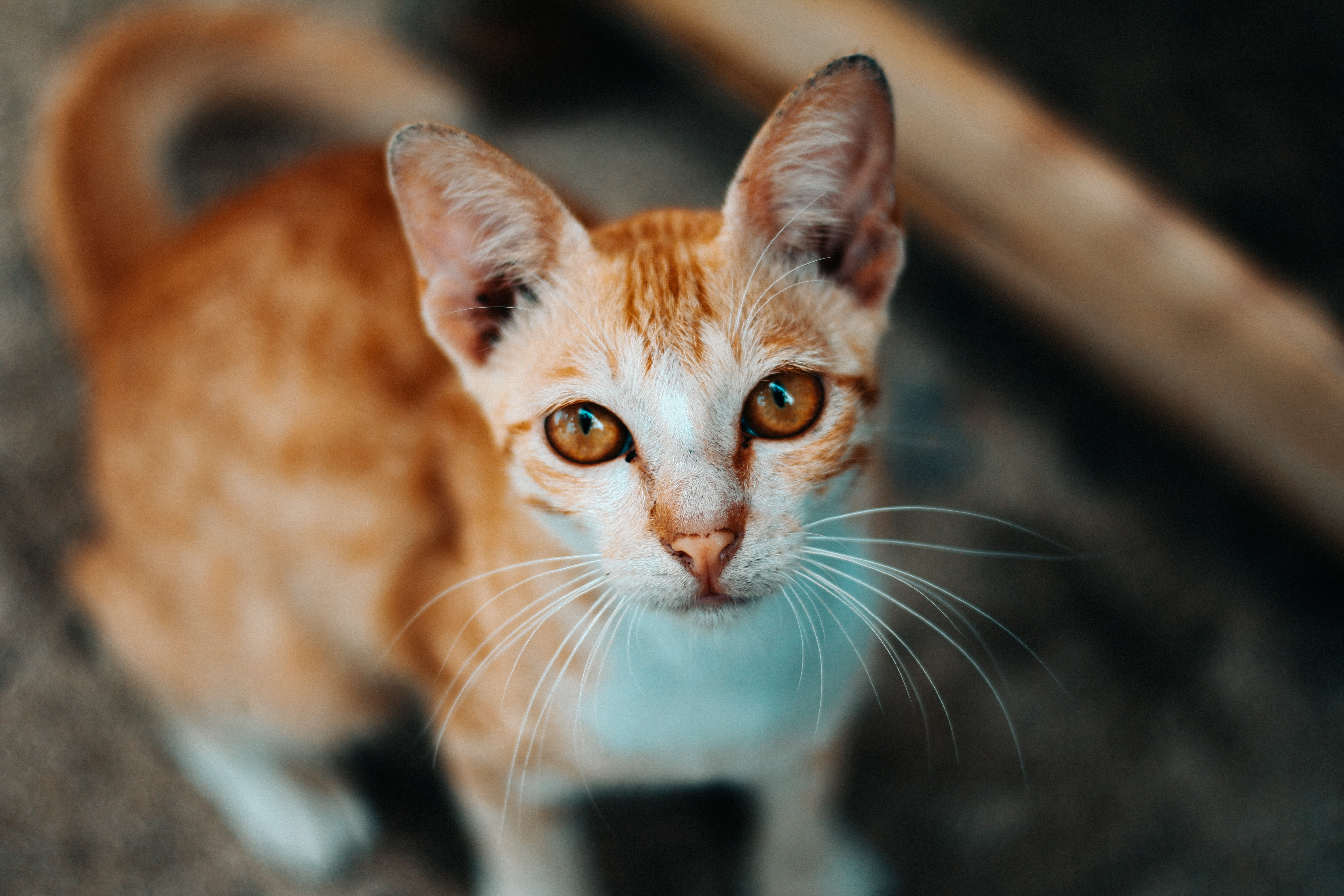 short-coated white and brown cat