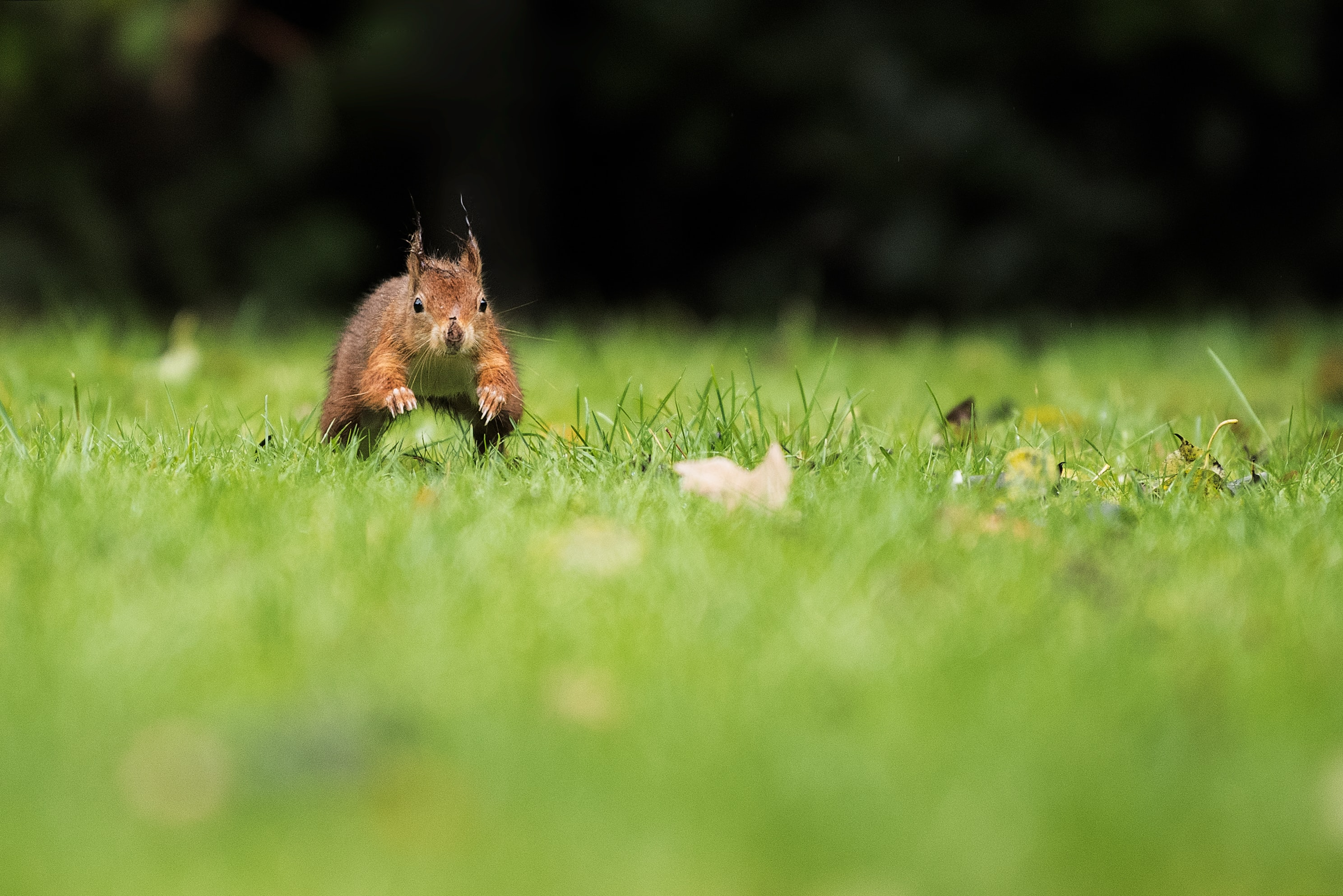 selective focus photography of brown squirrel running on green grass field