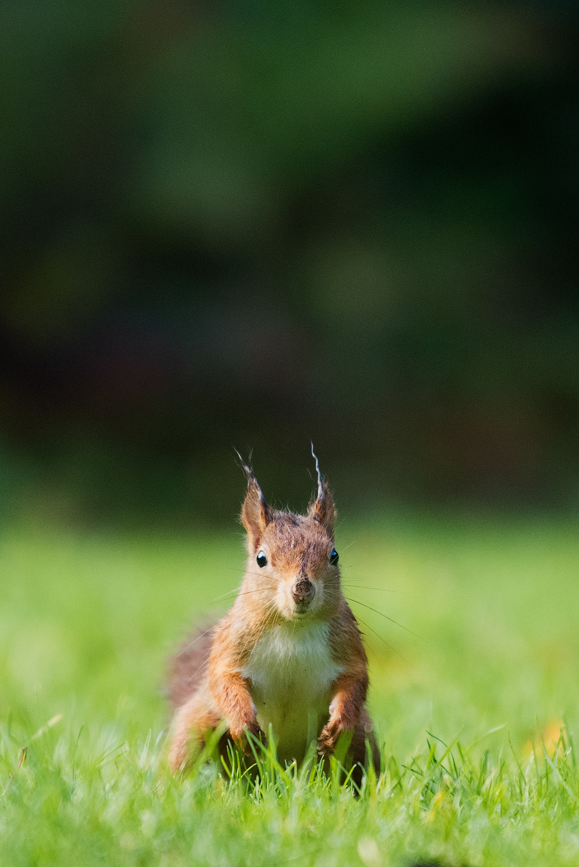 brown squirrel standing on the grass field