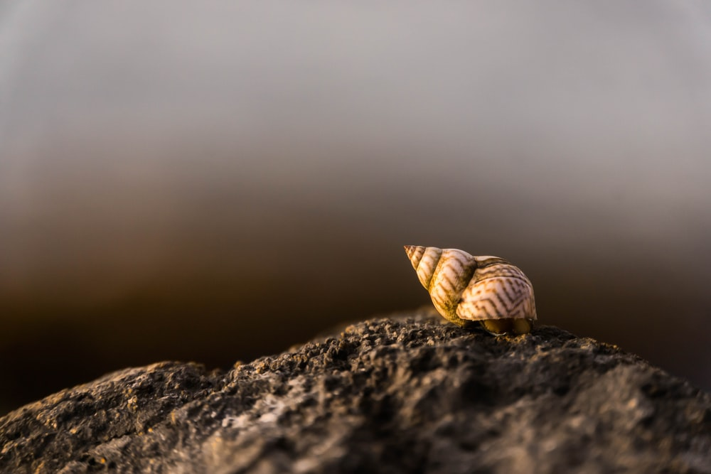 close-up photography of brown snail on rock during daytime