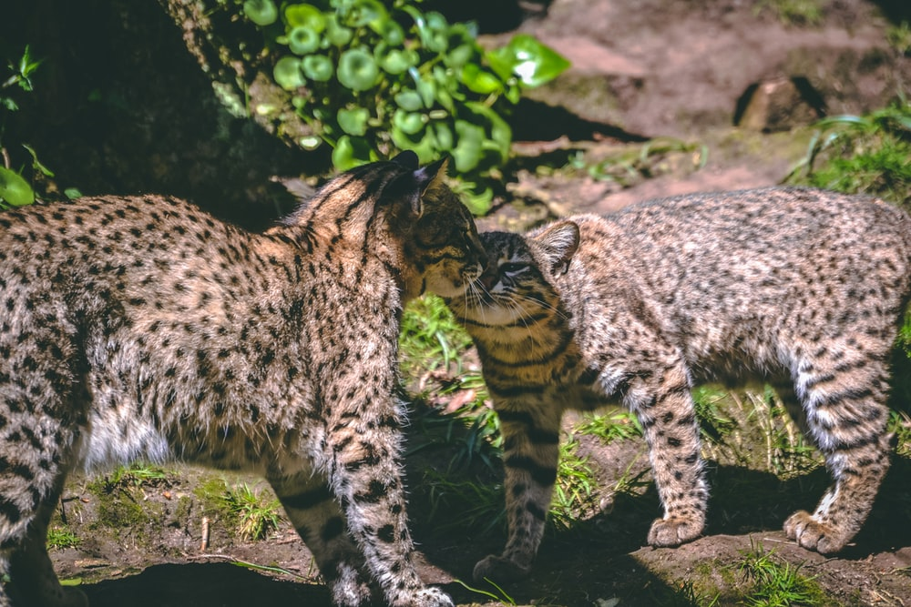 two lynx cats near plants