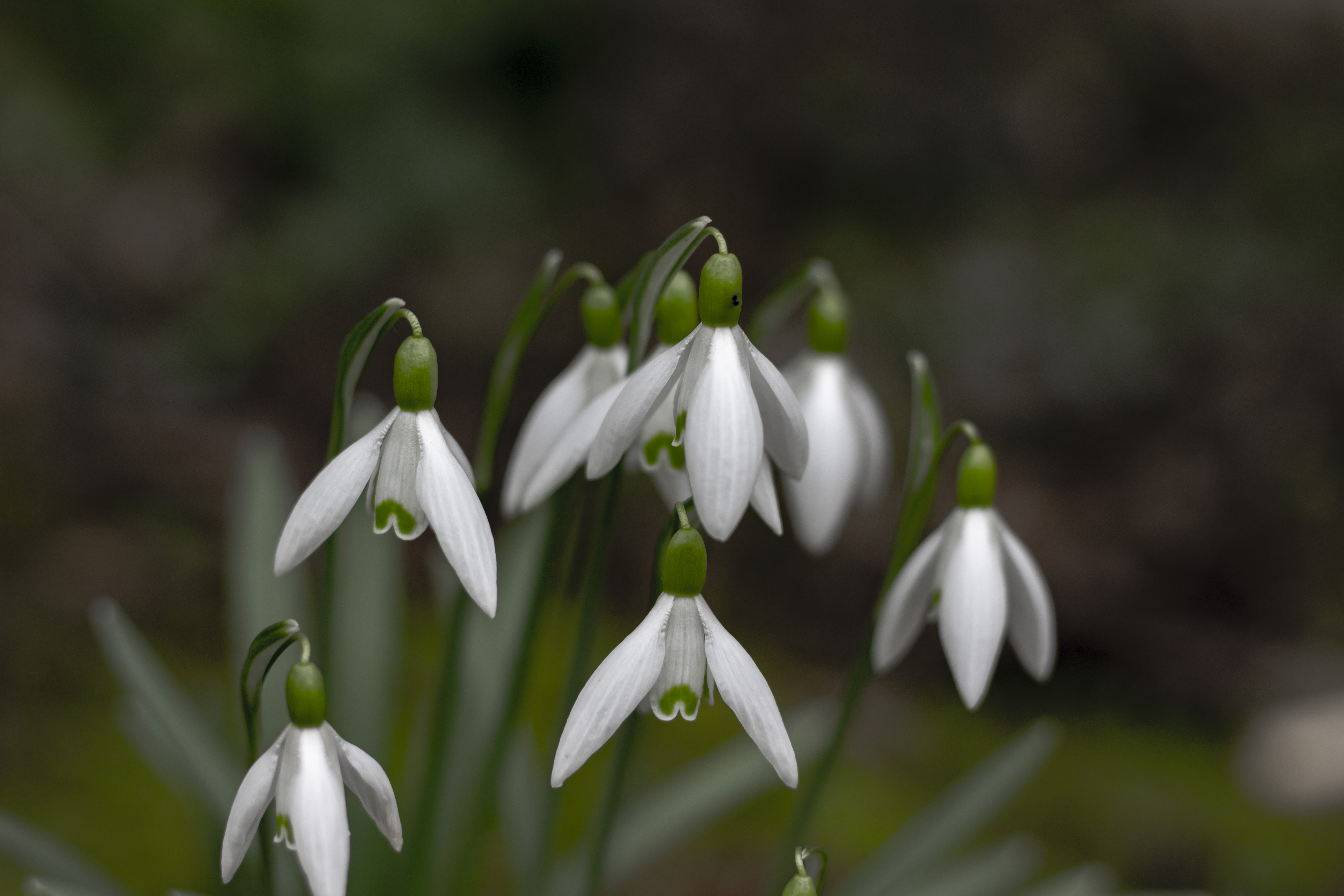 closeup photography of white snowdrop flowers