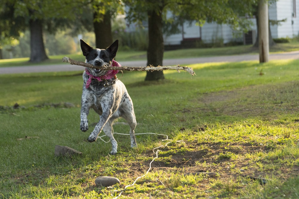 white dog carrying tree branch while running