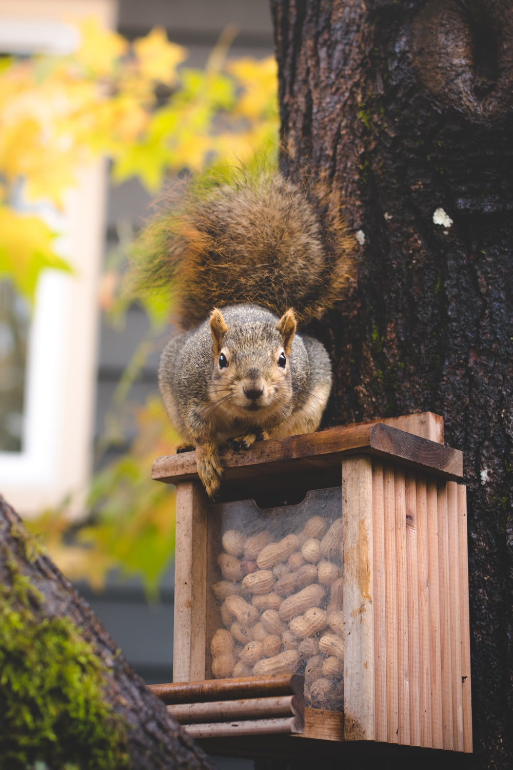 brown squirrel on brown wooden box full of nuts mounted on the tree at daytime