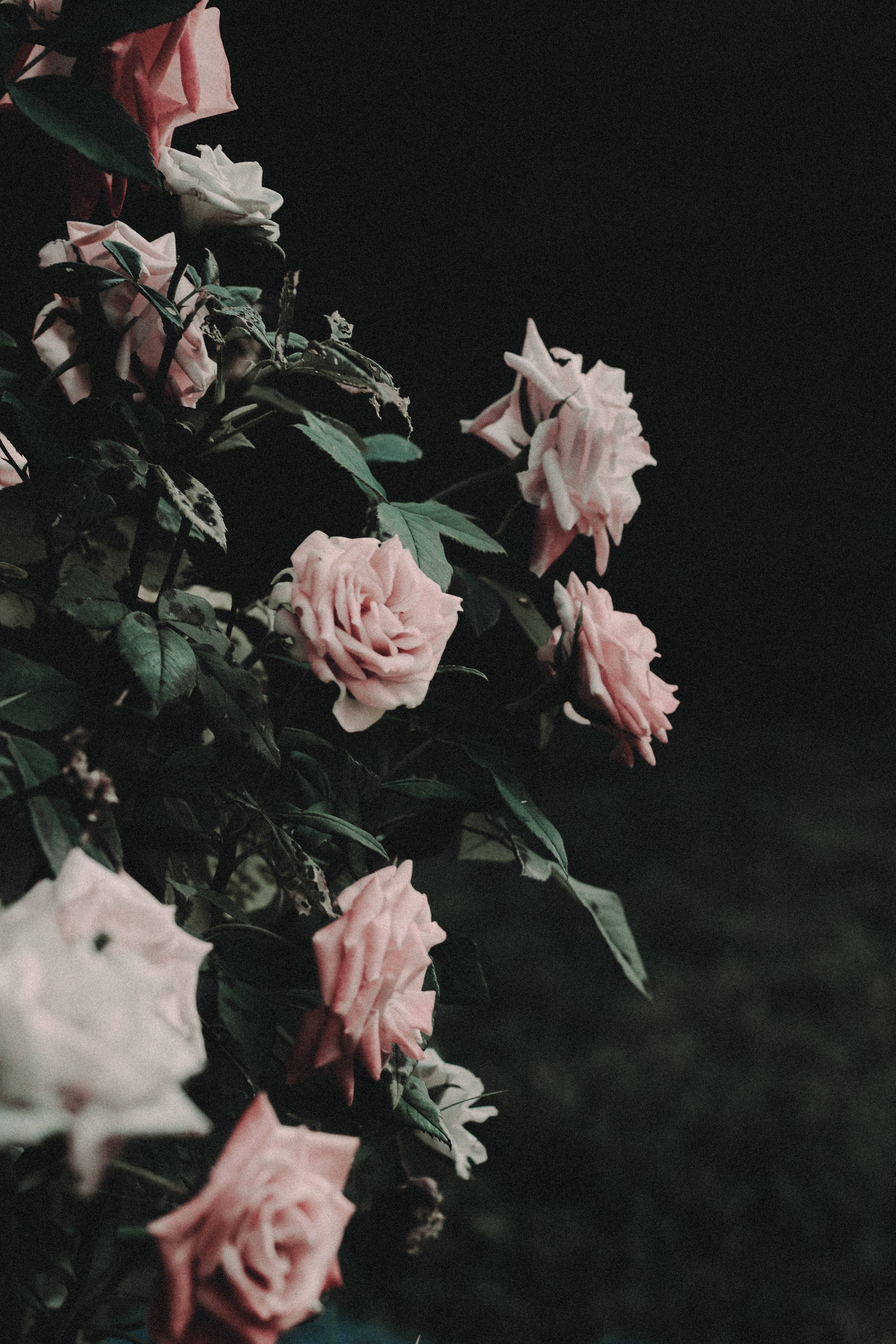 selective photo of pink roses