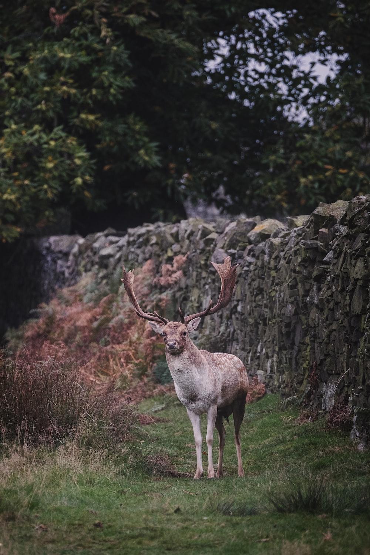 deer near rock wall