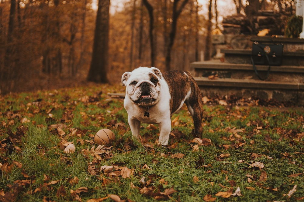 English bulldog beside ball on grass