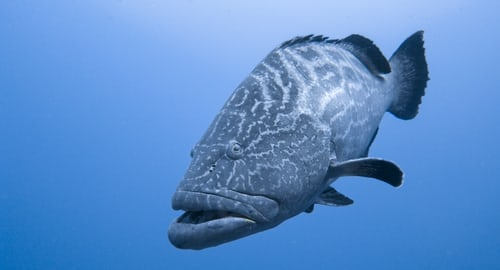 are goliath grouper good to eat