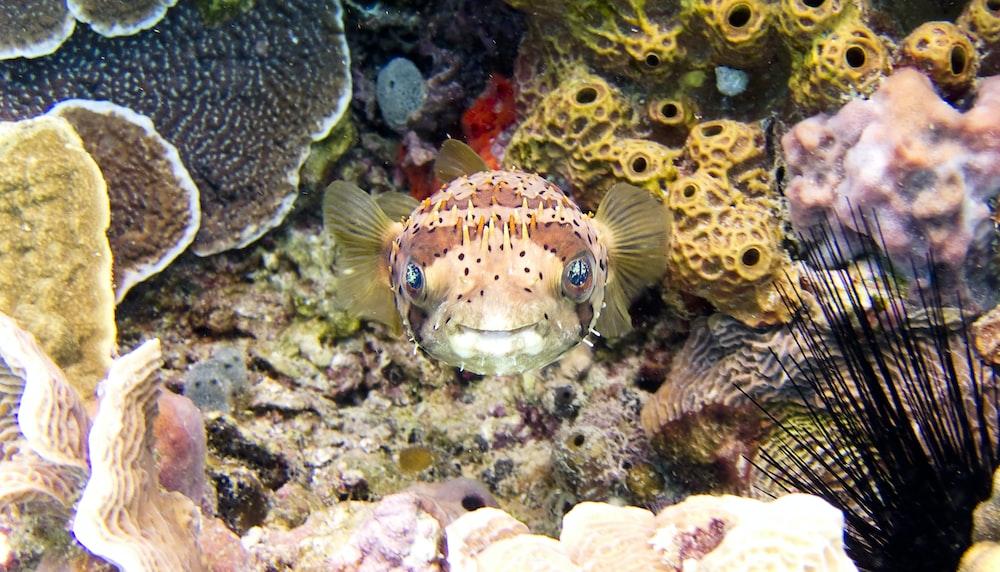 underwater photography of brown pufferfish