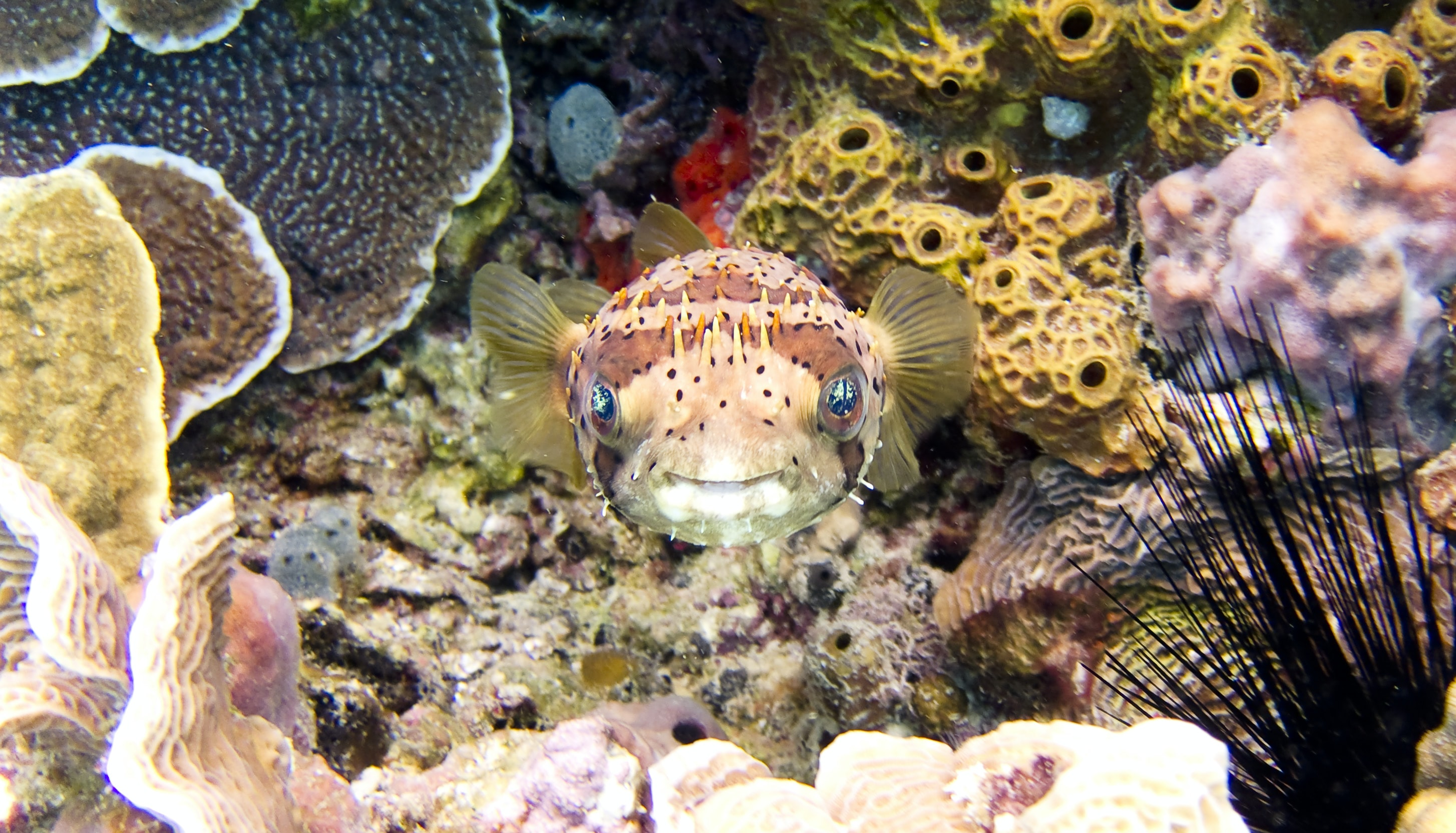 underwater photography of brown pufferfish