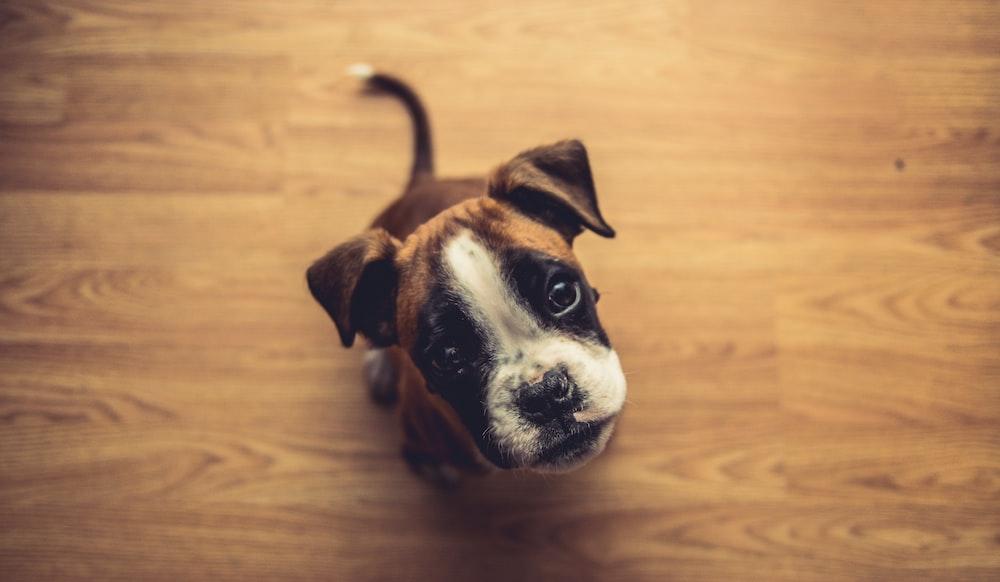 brown puppy looking upward