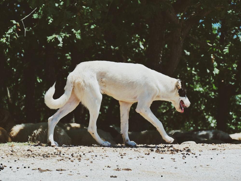 walking black and white dog on road