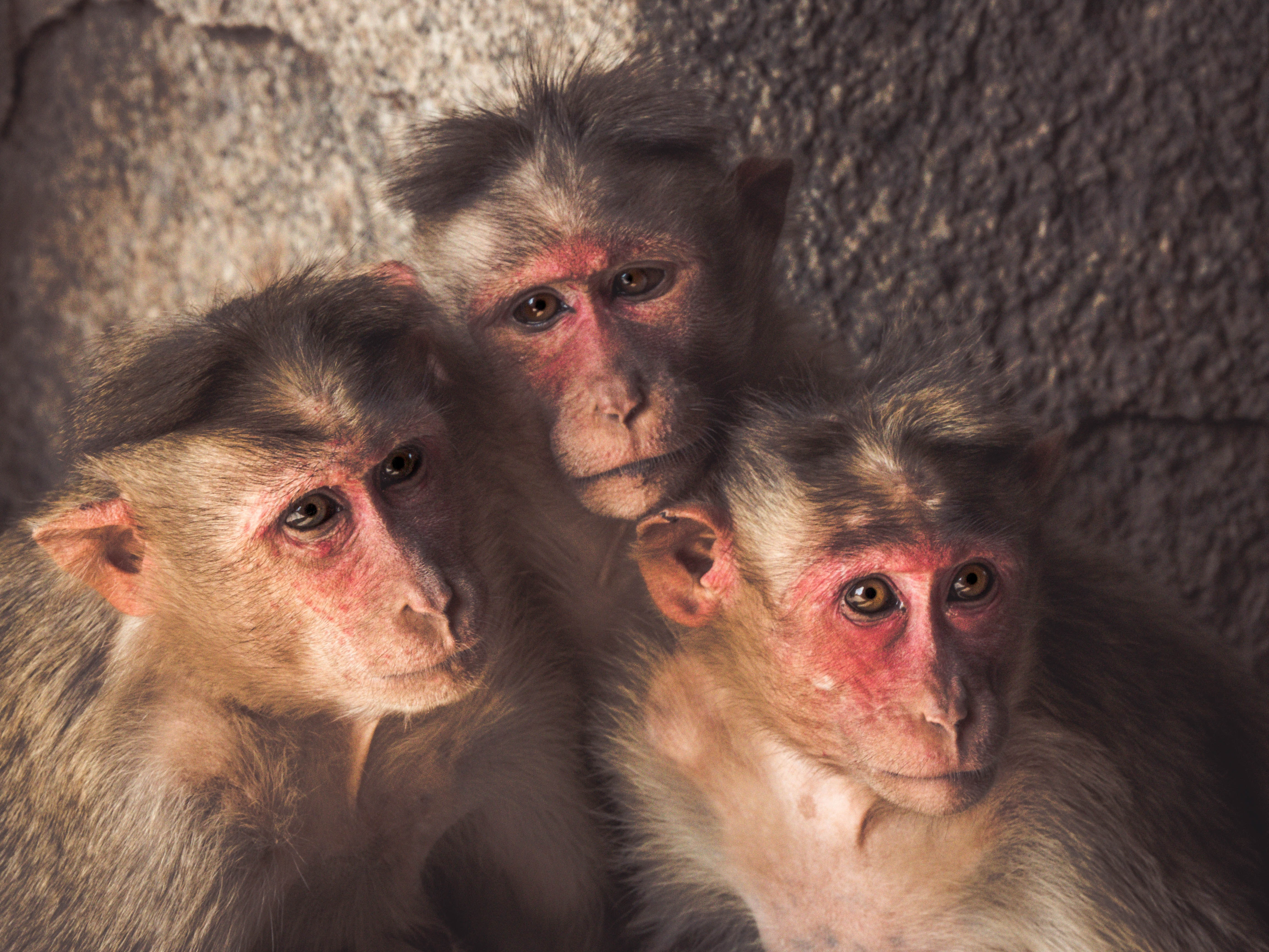 three monkeys standing near wall