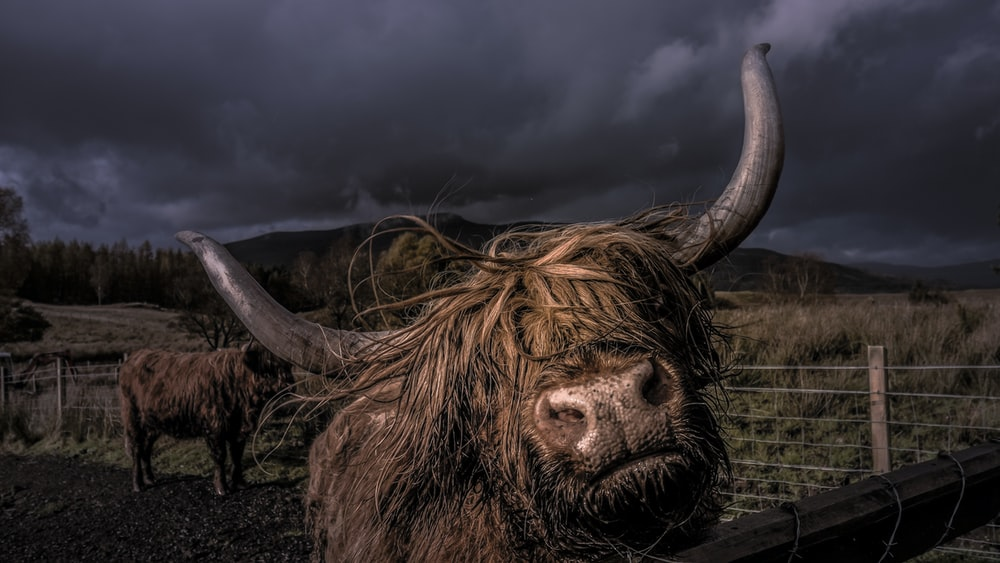 brown yak inside fence during nighttime