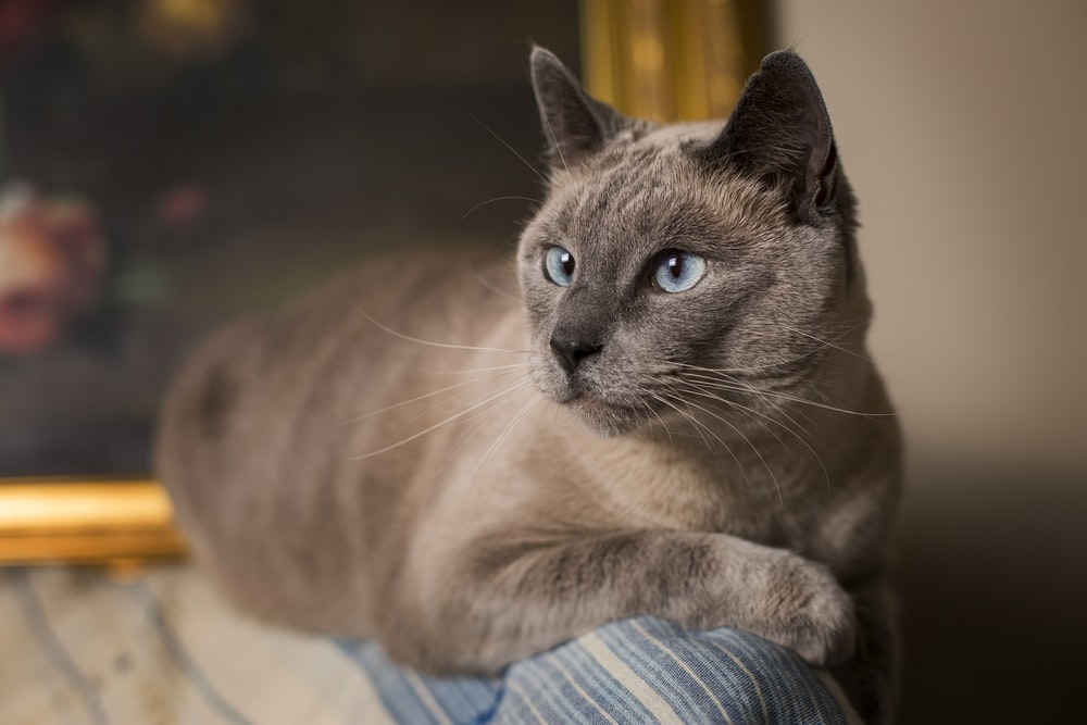 shallow focus photography siamese cat