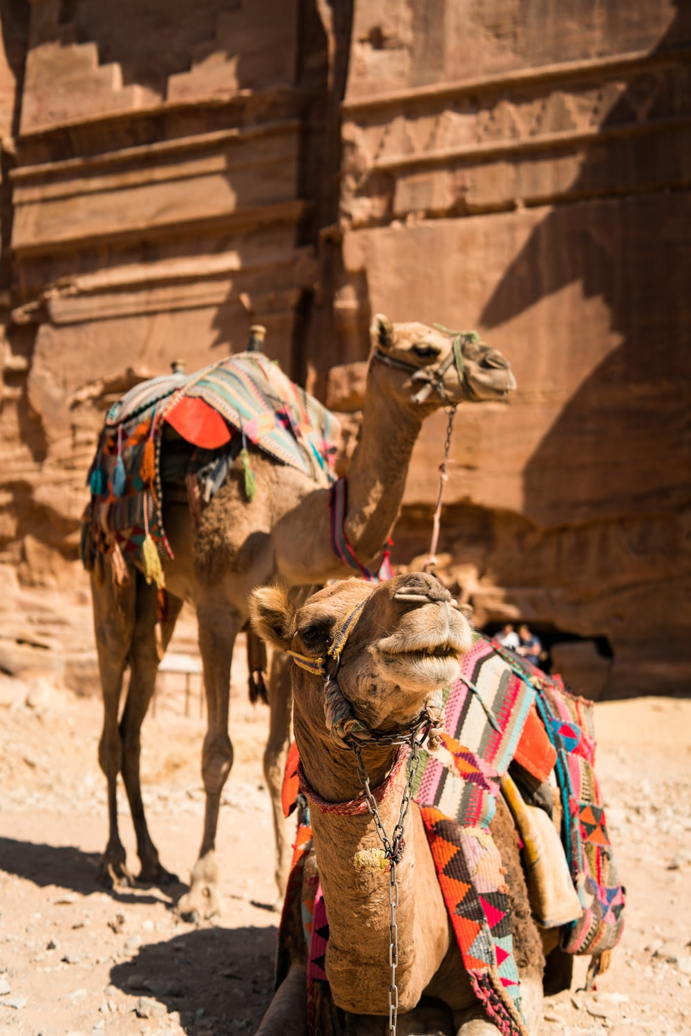 two brown camels near brown wall