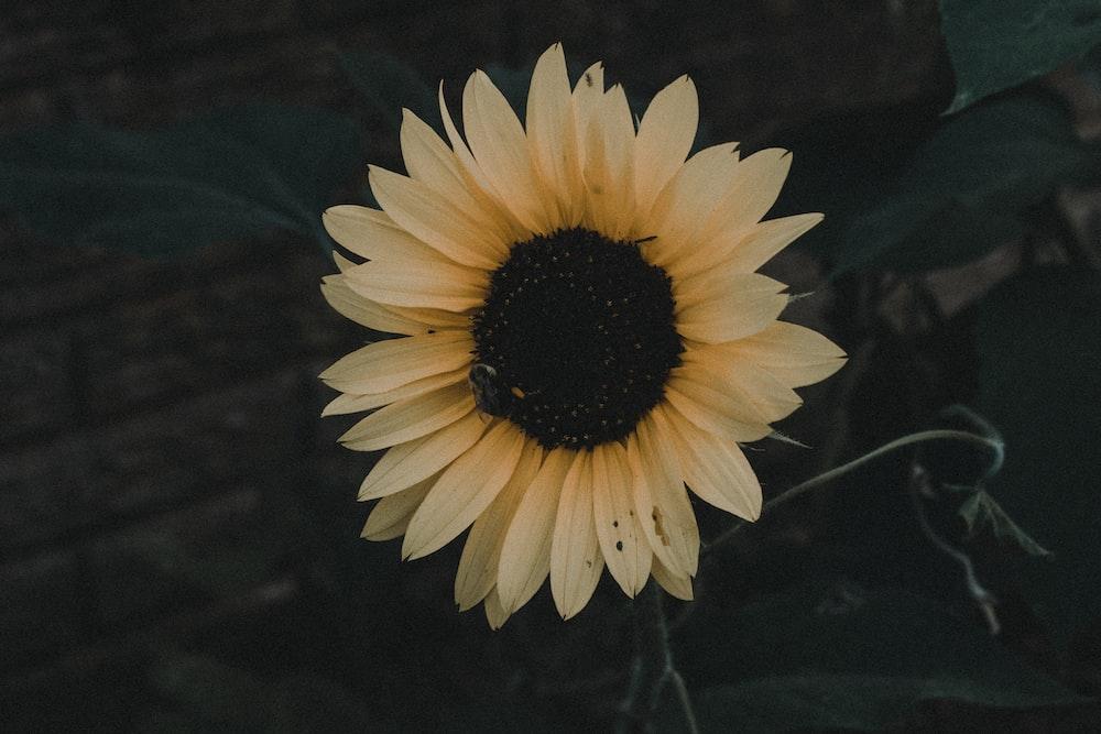 photo of common sunflower