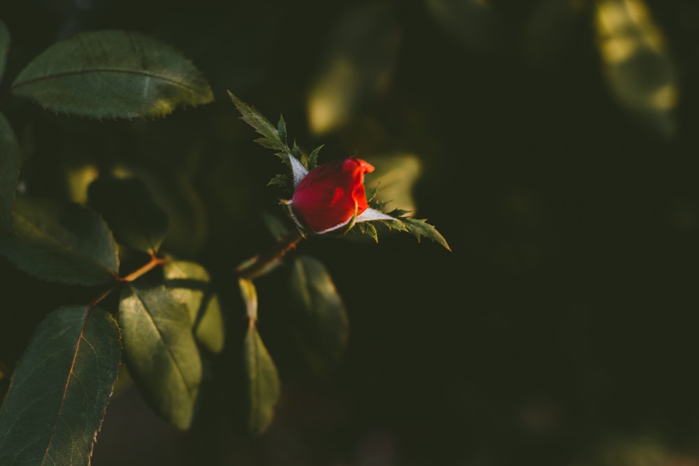 selective focus of rose bud