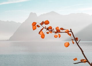 orange leaf near body of water and mountains during daytime