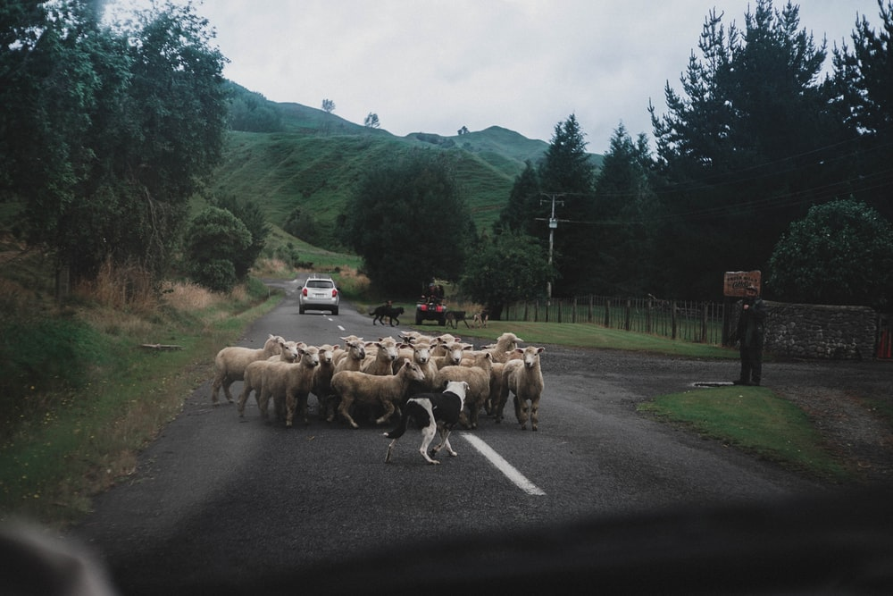herd of sheep crossing the road