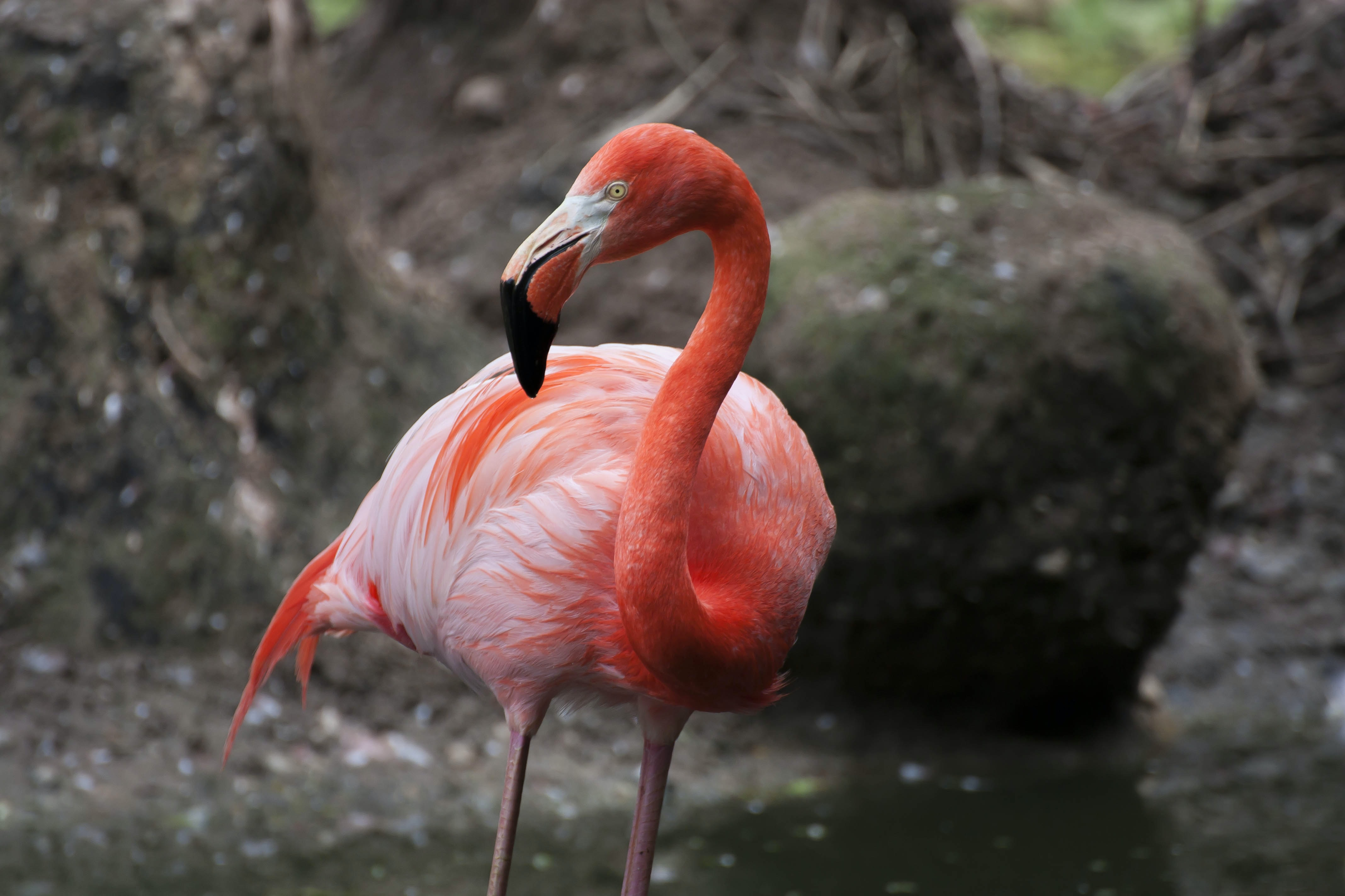shallow focus photography of red flamingo