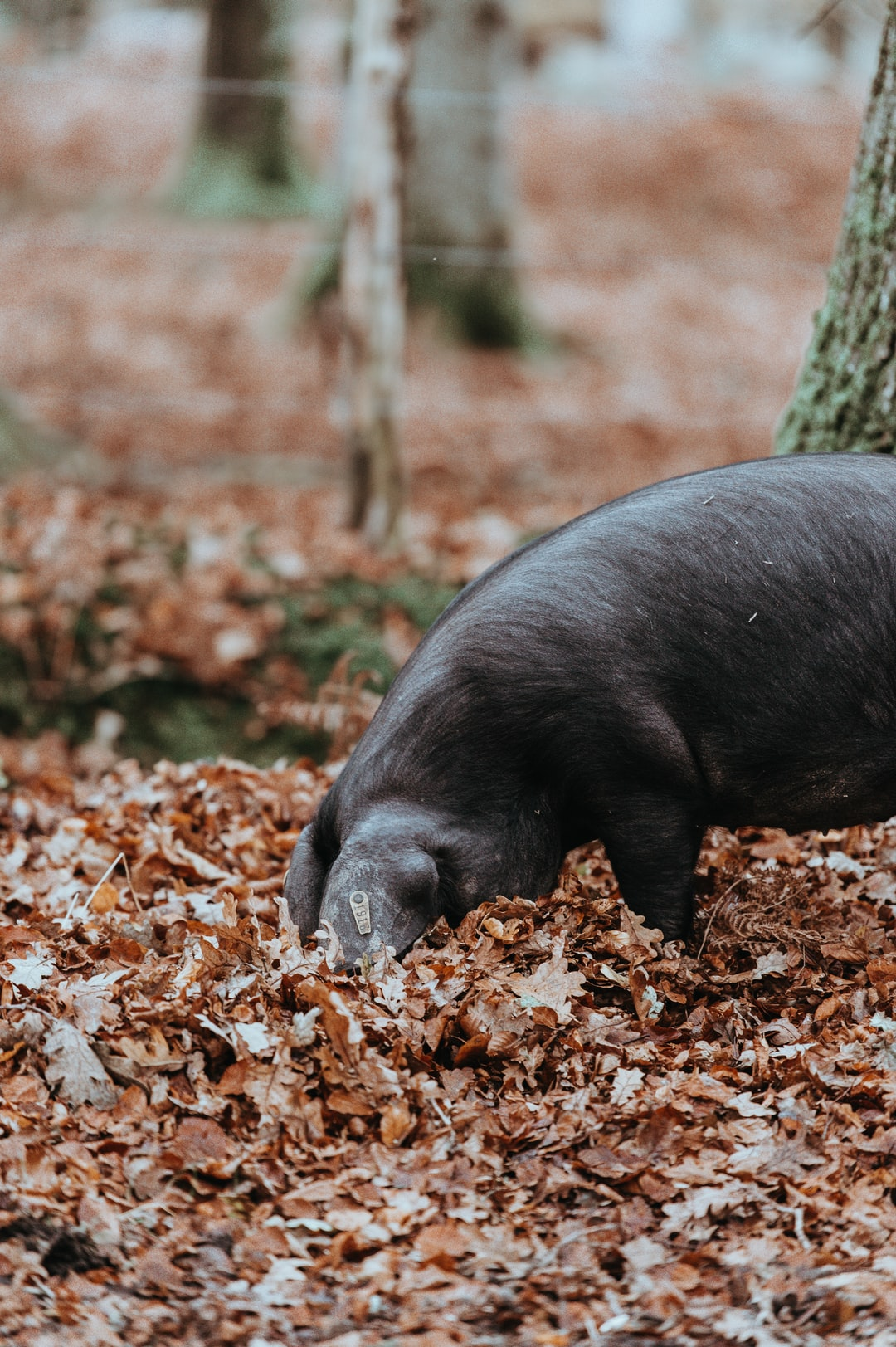 Foraging black pig in Autumn