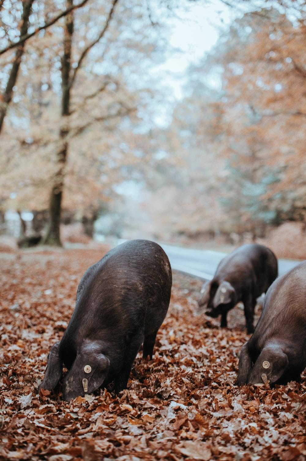 black pig on brown leaf
