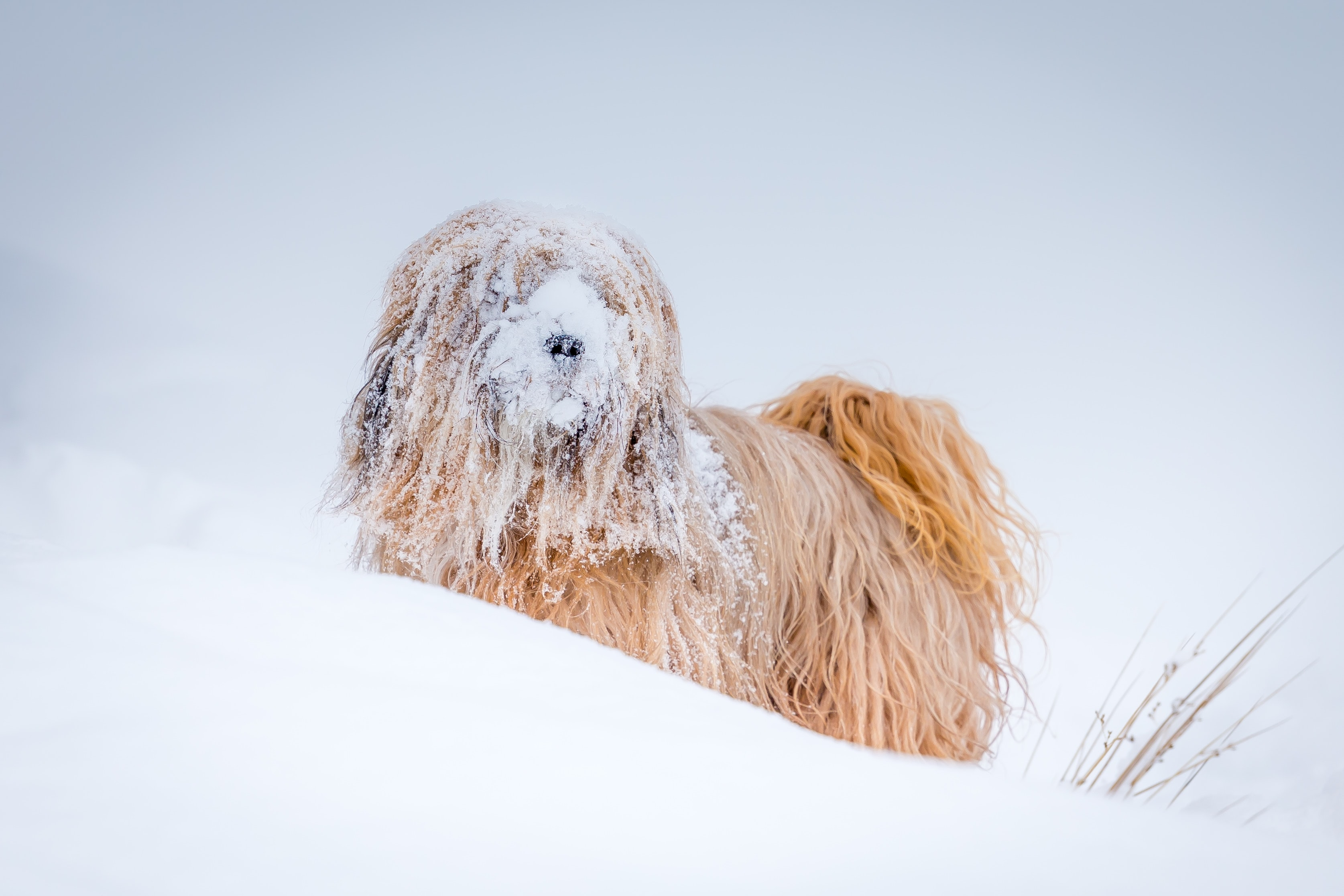 Sheepdog playing in snow